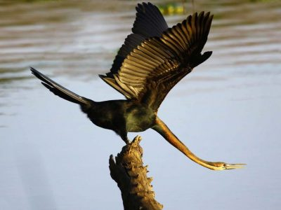 Afrikaanse slangenhalsvogel (2)