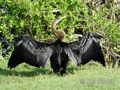 Indische slangenhalsvogel (2)