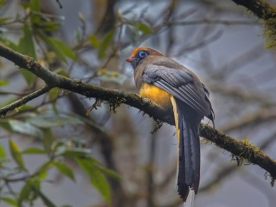 Wards trogon
