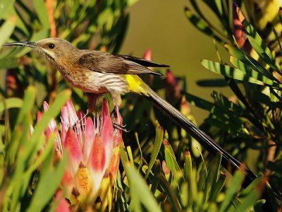 Afrikaanse suikervogels (4)