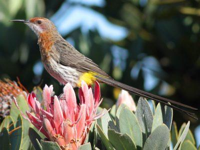 Gurney's suikervogel (1)