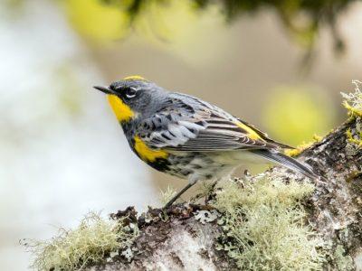 audubons zanger (1)