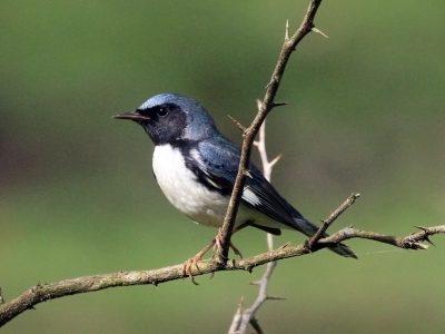 blauwe zwartkeelzanger (4)