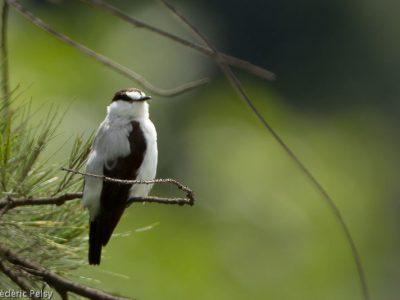 bergbeekvliegenvanger-4