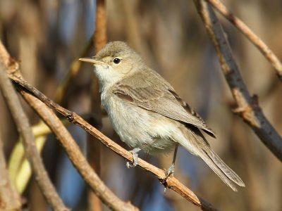 oostelijke-vale-spotvogel-4