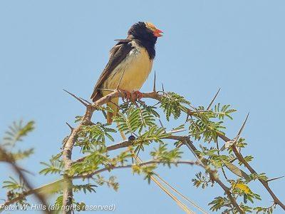 Birding East of Negele at Liben Plains Ethiopia 6Dec14