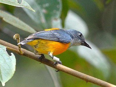 bastaardhoningvogels (1)