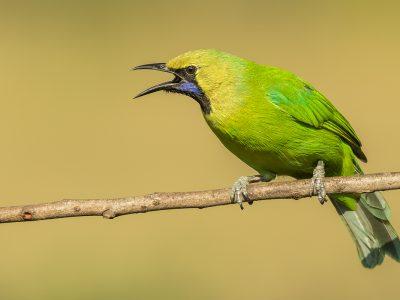 Jerdons-bladvogel-2