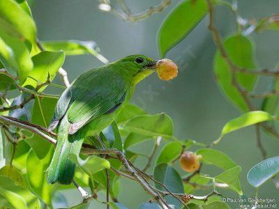 blauwbaardbladvogel-2