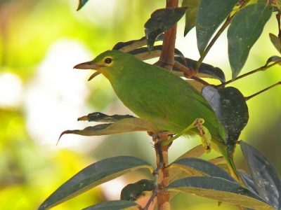 geelvleugelbladvogel-2