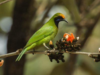 goudvoorhoofdbladvogel-2