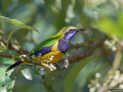 oranjebuikbladvogel-2