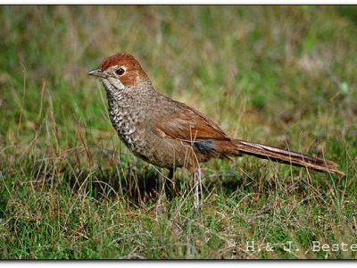 borstelvogels (2)