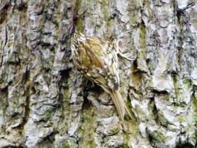 echte boomkruipers (5)