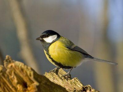 eigenlijke zangvogels