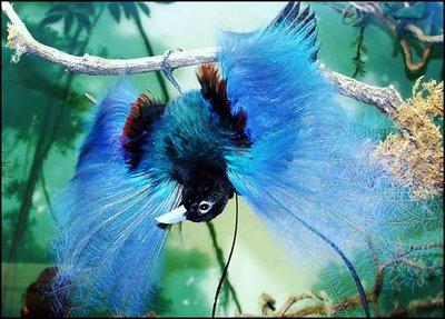 paradijsvogels (3)