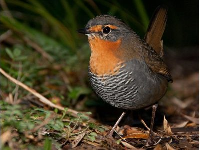 tapaculo's (3)