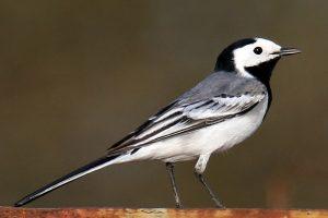 zangvogels 2