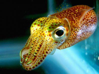 dwerginktvissen (3)