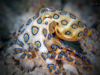 blauwgeringde-octopus-1
