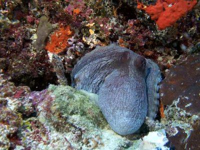 grote-blauwe-octopus-1
