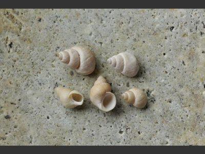 grote-scheefhoren-3