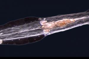 pijlwormen (2)