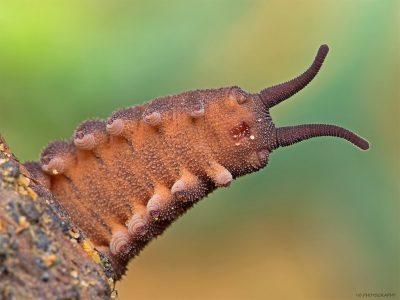 stam fluweelwormen
