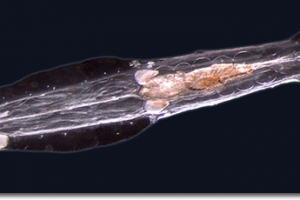 stam pijlwormen