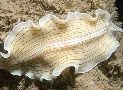 stam platwormen