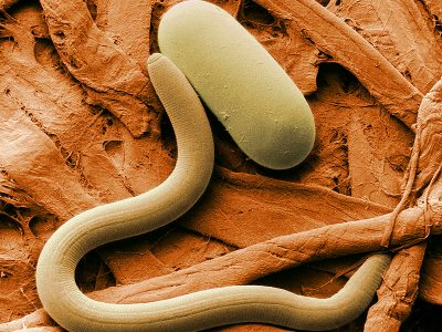 stam rondwormen