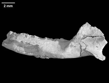 teinolophus (2)
