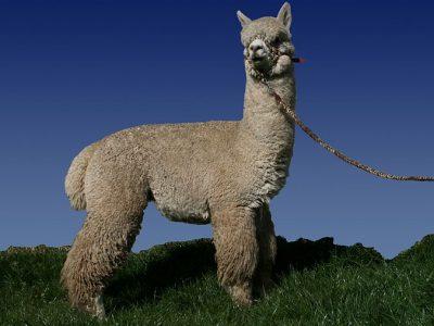 alpaca (2)