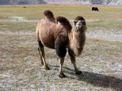 kameel (2)