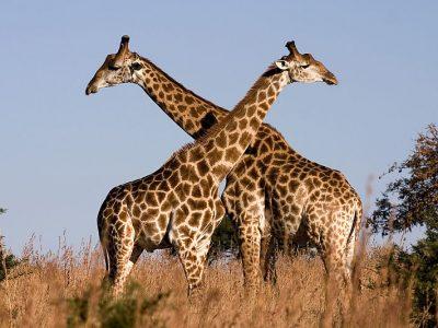 Kaapse giraf (4)