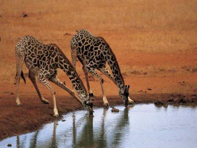 Nubische giraf (4)