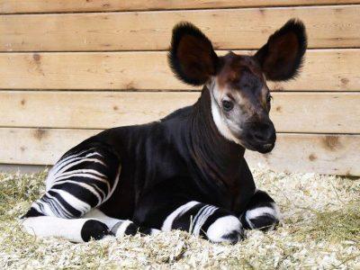 okapi (1)