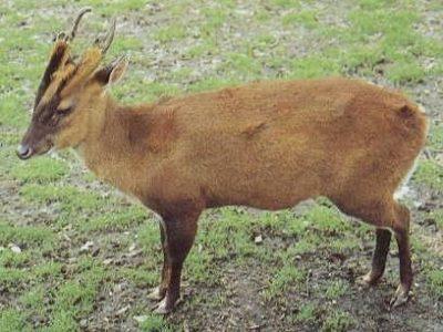 Sumatraanse muntjak (1)
