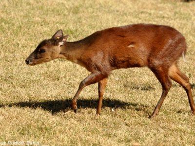 Midden-Amerikaanse rood spieshert (2)