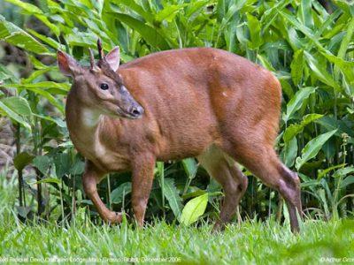 rood spieshert (4)