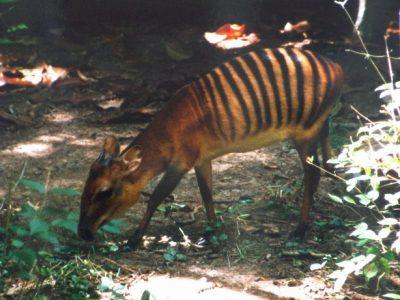 zebraduiker (4)