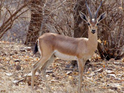 Indische gazelle (3)