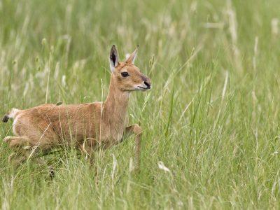 Mongoolse gazelle (3)
