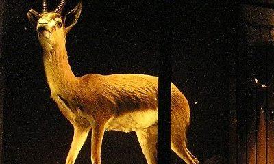 Noord-Algerijnse gazelle (2)