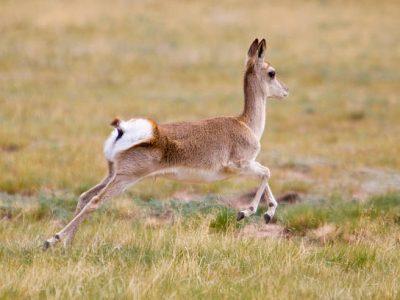 Tibetaanse gazelle  (5)