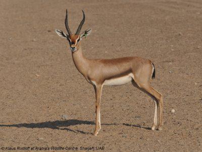 berggazelle (1)