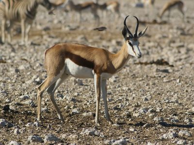echte antilopen (1)