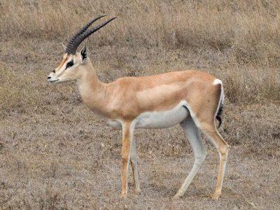 grantgazelle  (3)