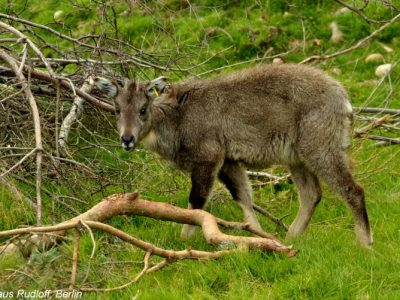 Chinese goral (1)