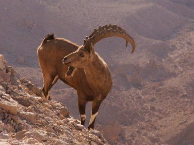 Nubische steenbok (2)